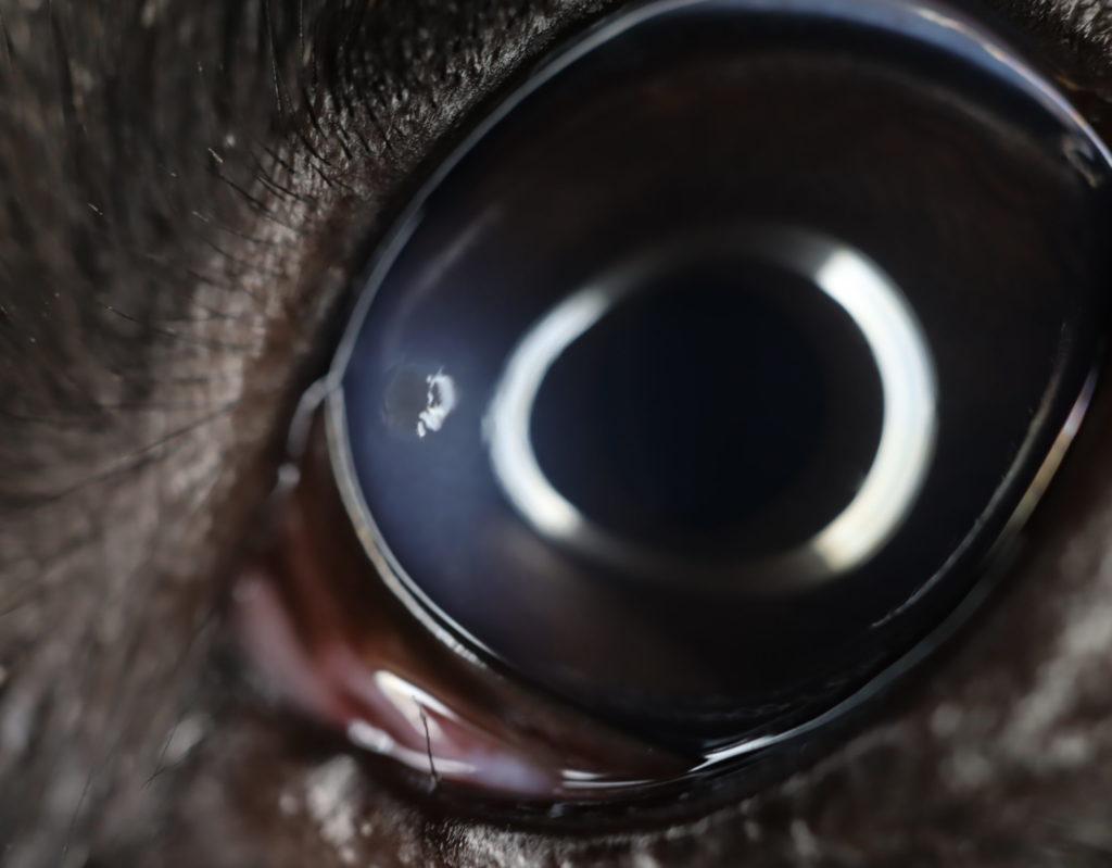 【眼科】目の外傷(犬) 〜実際に受診された子たちのと眼の病気の紹介④〜