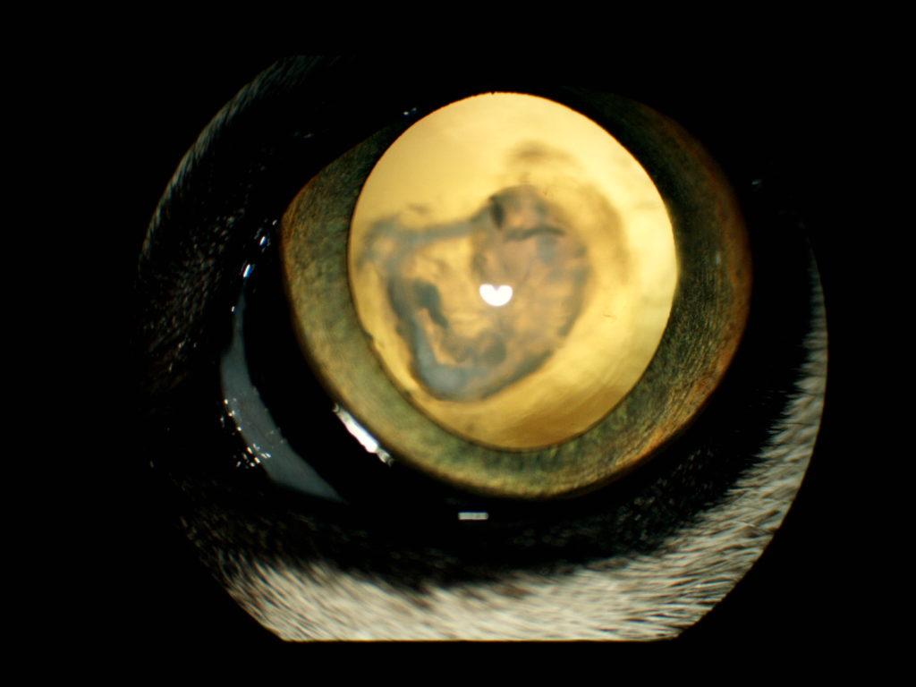 【眼科】猫の白内障 〜実際に受診された子たちと眼の病気の紹介⑤〜