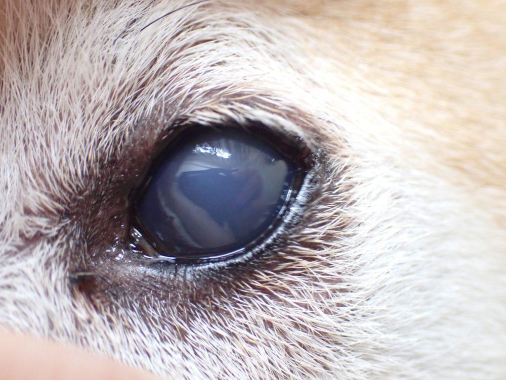 【眼科】犬の角膜内皮傷害 〜実際に受診された子たちと眼の病気の紹介②〜