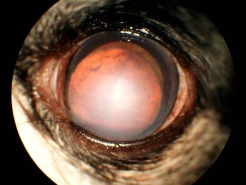 【眼科】犬の水晶体前方脱臼 〜実際に受診された子たちと眼の病気の紹介①〜|水晶体脱臼眼