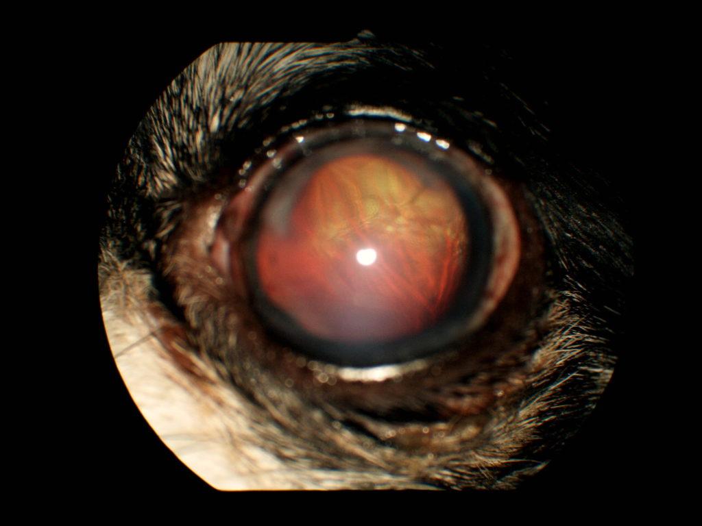【眼科】水晶体前方脱臼の術後経過 〜実際に受診された子たちと眼の病気の紹介⑥〜