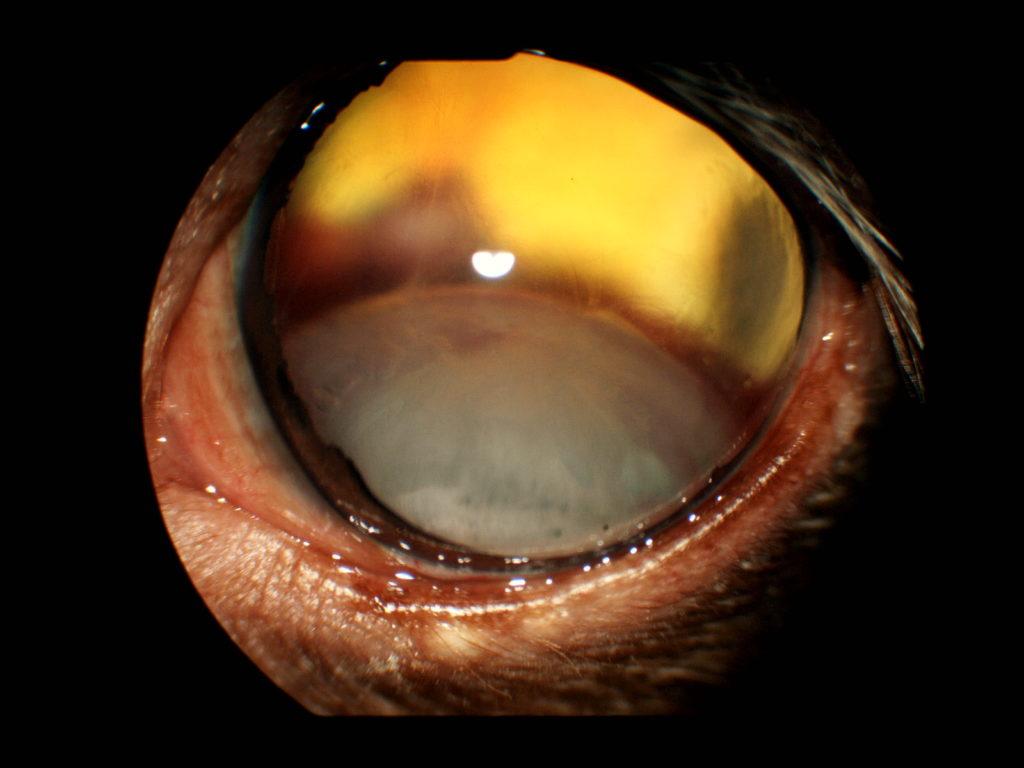【眼科】犬の水晶体後方脱臼 〜実際に受診された子たちのと眼の病気の紹介⑦〜