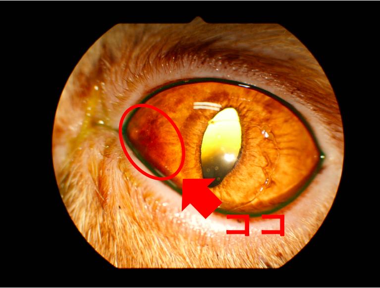 【眼科】猫の黒色壊死症 〜実際に受診された子たちのと眼の病気の紹介⑧〜